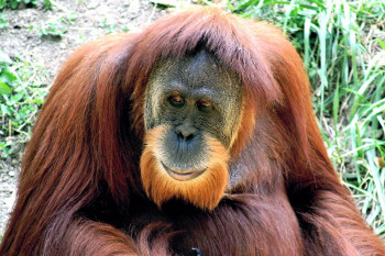 Orangutans in the social jungle and the cost of hiding in plain sight